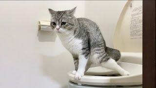 猫が人間用のトイレでうんちするようになりました…笑【もちまる日記】