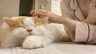 久々にひっついて甘えてきたツンデレ猫をモフるとこうなりました…【猫のレモンちゃんねる】