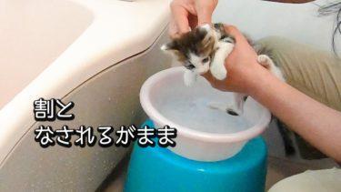洗面器のお風呂で汚れを落とす子猫(トワ君、初めてのお風呂)【ヤトと小太郎とトワ】