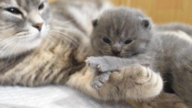 見ていると ついニヤニヤしちゃう赤ちゃん猫とママ猫がかわいすぎた…スコティッシュフォールドつむの子猫の成長記録 cutest kitten and her mother【まんまる猫】つむチャンネル。