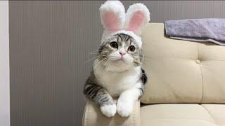 猫なのにうさぎのコスプレでハロウィンおやつをねだってくる猫!【もちまる日記】