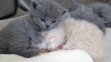 【悲報】茶つむがペチャンコにされました…w【まんまる猫】つむチャンネル。