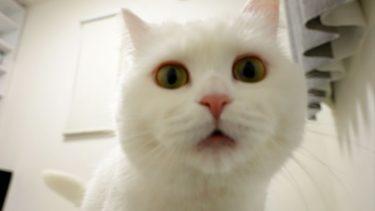 不満があるようで鳴いて訴えてくるモフ猫!【ポムさんとしまちゃん / ねこべや】