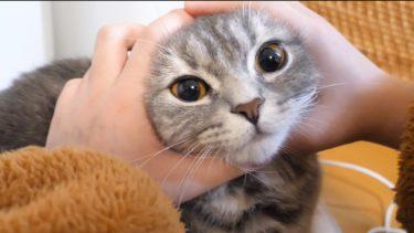 【感謝】親子猫の1年を振り返ってみたら…  スコティッシュフォールドつむの子猫の成長記録 kitten and New Year's Eve【まんまる猫】つむチャンネル。