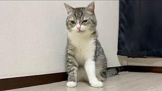 不意に猫吸いされて機嫌を損ねちゃった猫がこちらです…【もちまる日記】