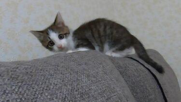 子猫時代と今を比較。1年でここまで成長するのか【ヤトと小太郎とトワ】