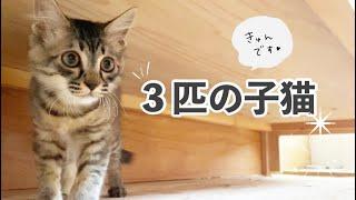 【保護子猫】たわむれる3匹の子猫たち♪♪(ペペタ・モシヲ・コズモ)【hibineco/保護猫シェルター】