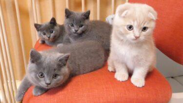 子猫が離脱する理由をお知らせします!スコティッシュフォールドつむの子猫の成長記録 kitten and traveling【まんまる猫】つむチャンネル。