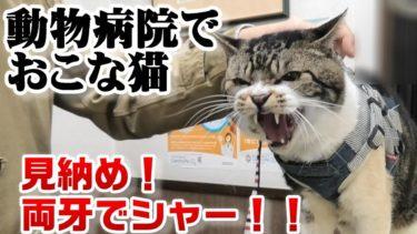 両牙のシャーはこれで見納め!動物病院でおこな猫リキちゃん☆ふてにゃんとニアミス&騒がしい犬にそわそわ☆ゴジラ猫【リキちゃんねる・猫動画】Cat video キジ白猫のいる暮らし
