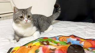 新しいおもちゃが激しすぎて手に負えなくなった猫がこちらですw【もちまる日記】