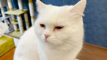 ポムさんが目の病気になりました。【ポムさんとしまちゃん / ねこべや】