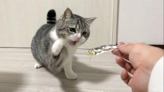 猫に初めて魚を丸ごと1匹あげたら興奮しすぎてこうなったw【もちまる日記】