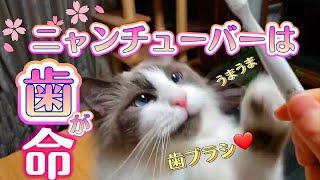 歯磨きする人~! と呼べば来て歯ブラシ要求する猫コハク君 Ragdoll Cat Kohaku【Chika Cat】