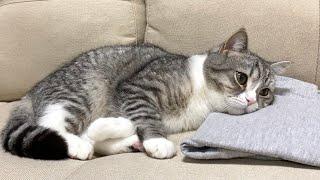 飼い主の服を枕にして離さない猫がかわいすぎた笑【もちまる日記】