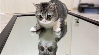 猫が鏡の上を歩いたらびっくりしてこうなりましたww【もちまる日記】