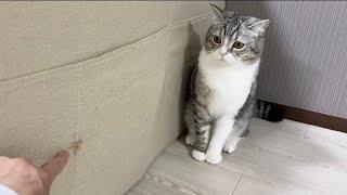 ソファーで爪とぎした猫を厳しく叱ったらこうなった…【もちまる日記】