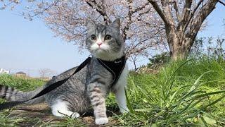 猫が初めてお花見に行ったら楽しすぎてこうなりました笑【もちまる日記】