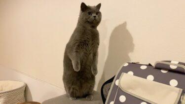 パパ猫の隠された魅力をお届けしますw【まんまる猫】つむチャンネル。