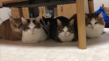 冬限定!寄り添って香箱座りする5匹の猫【ひのき猫】