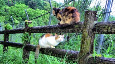 山道ですれ違った三毛婆猫に寄り添って挨拶する三毛母猫😺【CuteWoo】