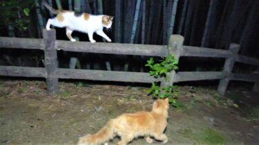 三毛母猫に寄り添って優しく話しかける茶トラパパ猫😸【CuteWoo】