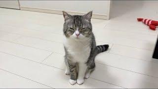 どうしても膝の上で寝たくて、眠そうに甘えてくる猫がこちらです笑【もちまる日記】