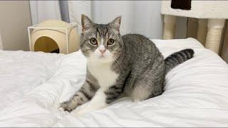 寝る時間になると先にお布団でふみふみして待ってる猫がかわいすぎた笑【もちまる日記】
