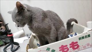 肉体美!ムキムキマッスルに見える灰色猫すずまろ君!【kokesukepapa】