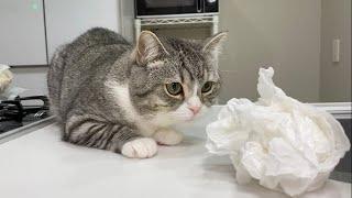キッチンに現れたゴキブリをパンチ2発でKOした猫がこちらです…【もちまる日記】