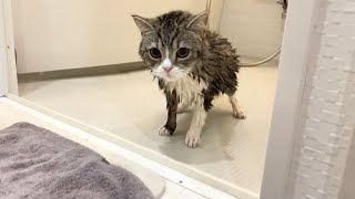 お風呂に入ったら子猫みたいに小さくなった猫がこちらです…笑【もちまる日記】