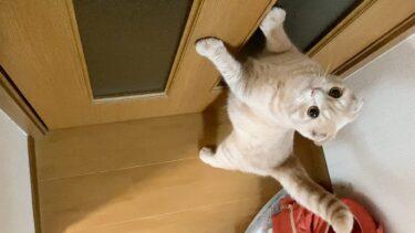 最近、むぎが鳴くようになりました…【まんまる猫】つむチャンネル。