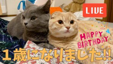【祝】子つむ1歳の誕生日ライブ!【まんまる猫】つむチャンネル。